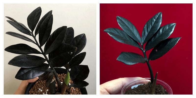Как цветет замиокулькас в домашних условиях