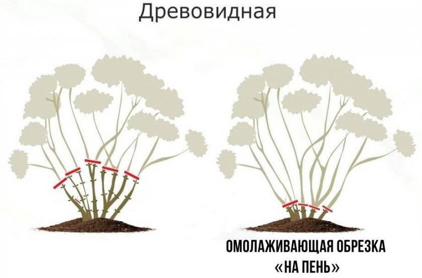 Чем подкормить гортензию весной