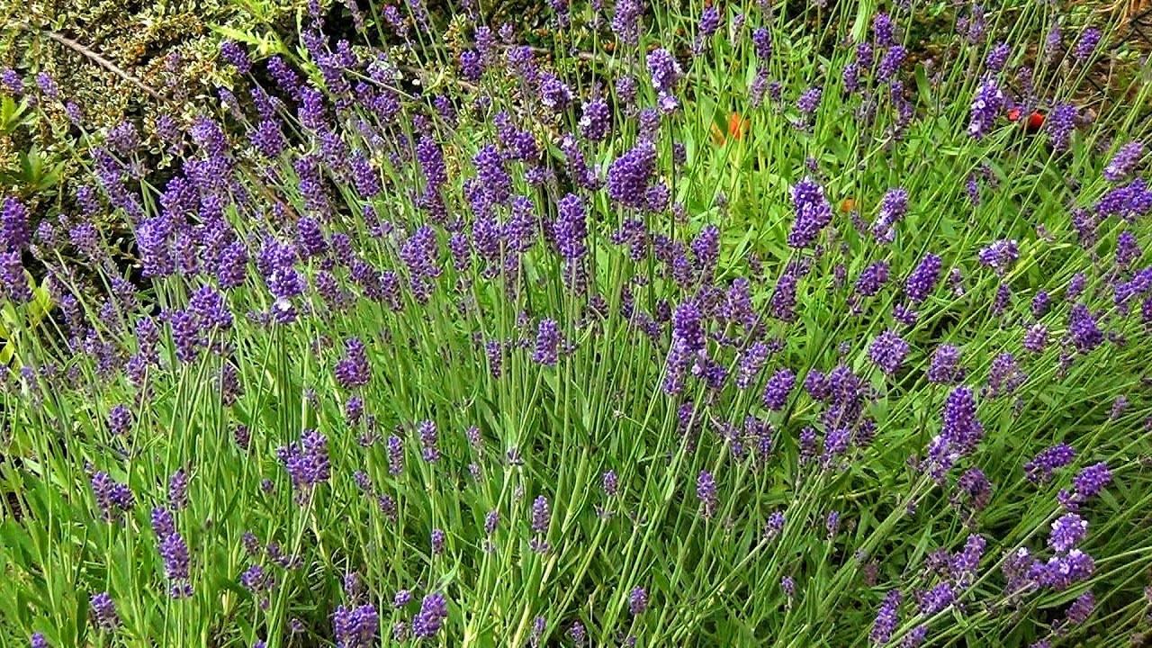 Как часто спатифиллум цветет в домашних условиях, когда начинается этот процесс и как помочь растению?