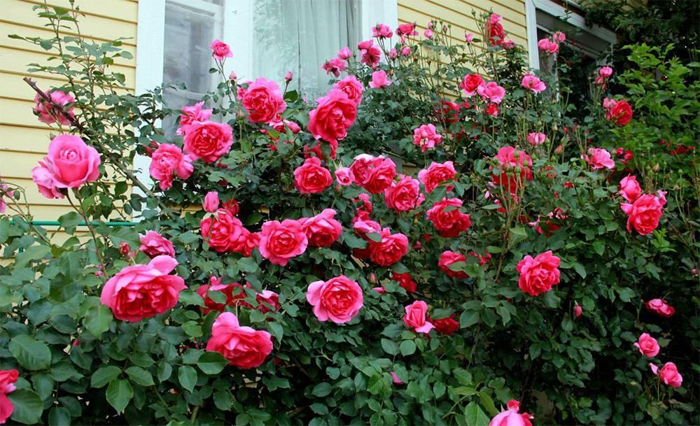 Сорт плетистой розы компешн от британской harkness: как выращивать компассион