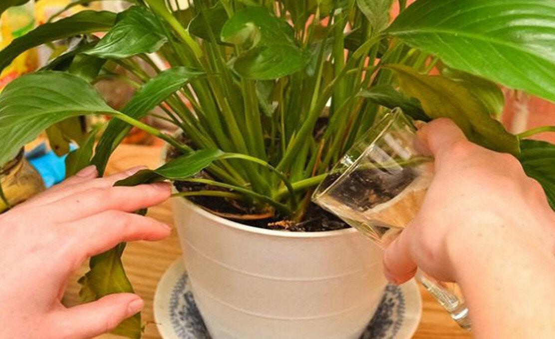 Выращивание сансевиерии цилиндрической: как посадить, ухаживать, удобрять