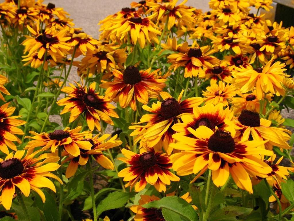 Посадка и уход за рудбекией многолетней | красивый дом и сад
