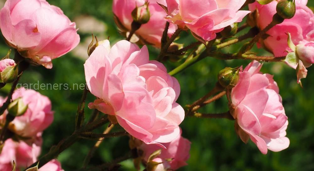 Виды и популярные сорта роз для выращивания в саду
