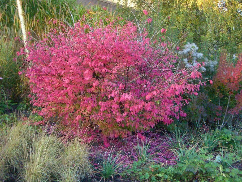 Бересклет японский (41 фото): описание комнатного растения, посадка декоративных деревьев, уход за кустарниками в саду, сорта «ауреа» и «браво»