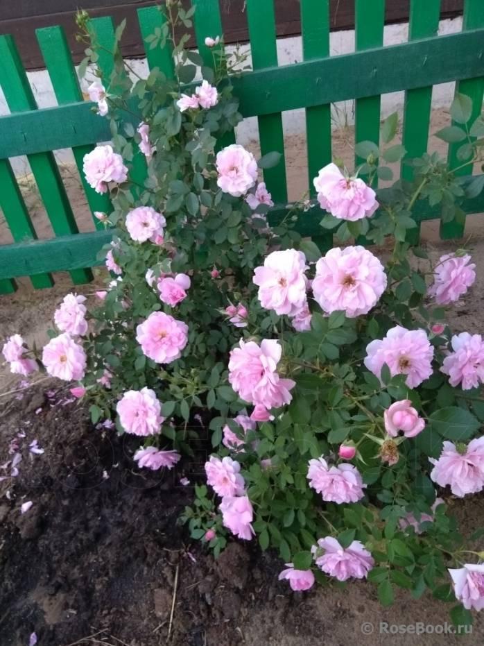 Лучшие зимостойкие канадские сорта роз: описание, фото и уход