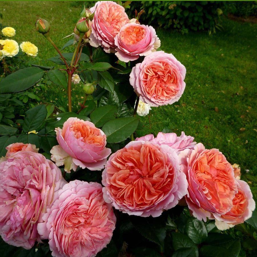 Роза абрахам дерби