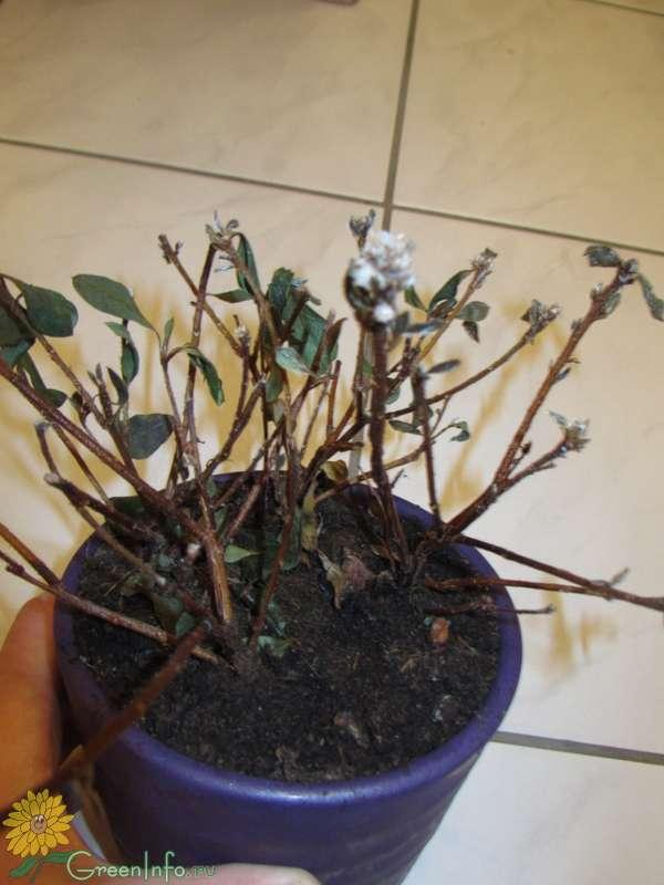 Реанимация роз после зимы: как разбудить, если не проснулись, почернели, чем полить