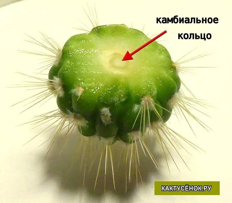 Описание сортов и ухода за кактусом опунция в домашних условиях: как посадить, размножать