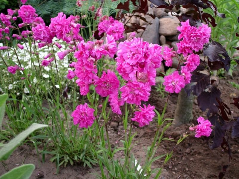 Армерия балерина красная. армерия - посадка и уход, фото выращивание из семян, когда сажать