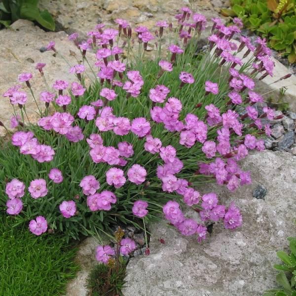 Цветы гвоздика садовая: фото видов и сортов многолетней гвоздики, размножение и выращивание