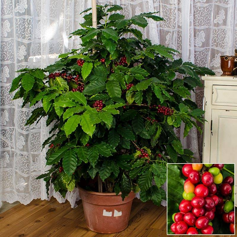 Кофе арабика — комнатное растение, условия выращивания
