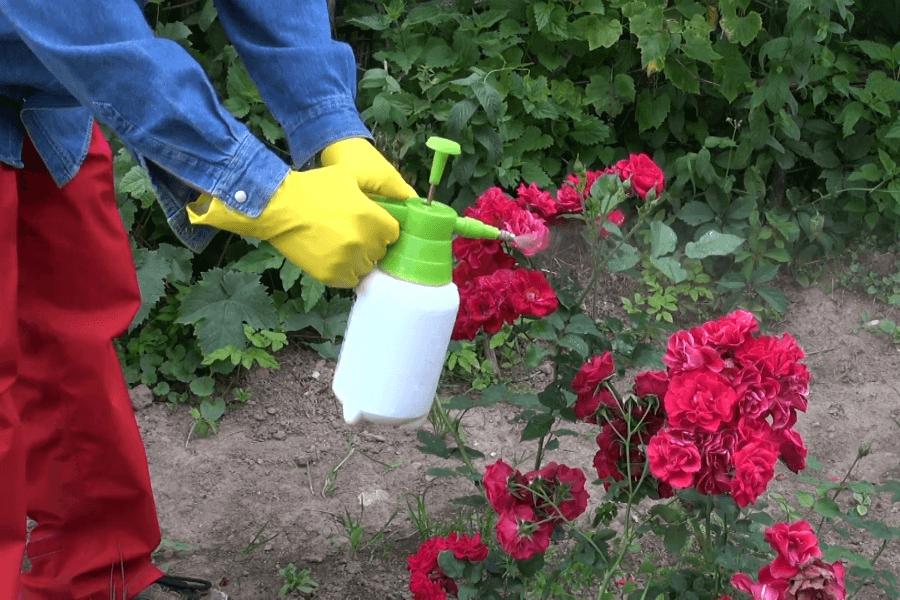 Тля на розах: как избавиться? тля на садовых розах: как избавиться (народные средства)?