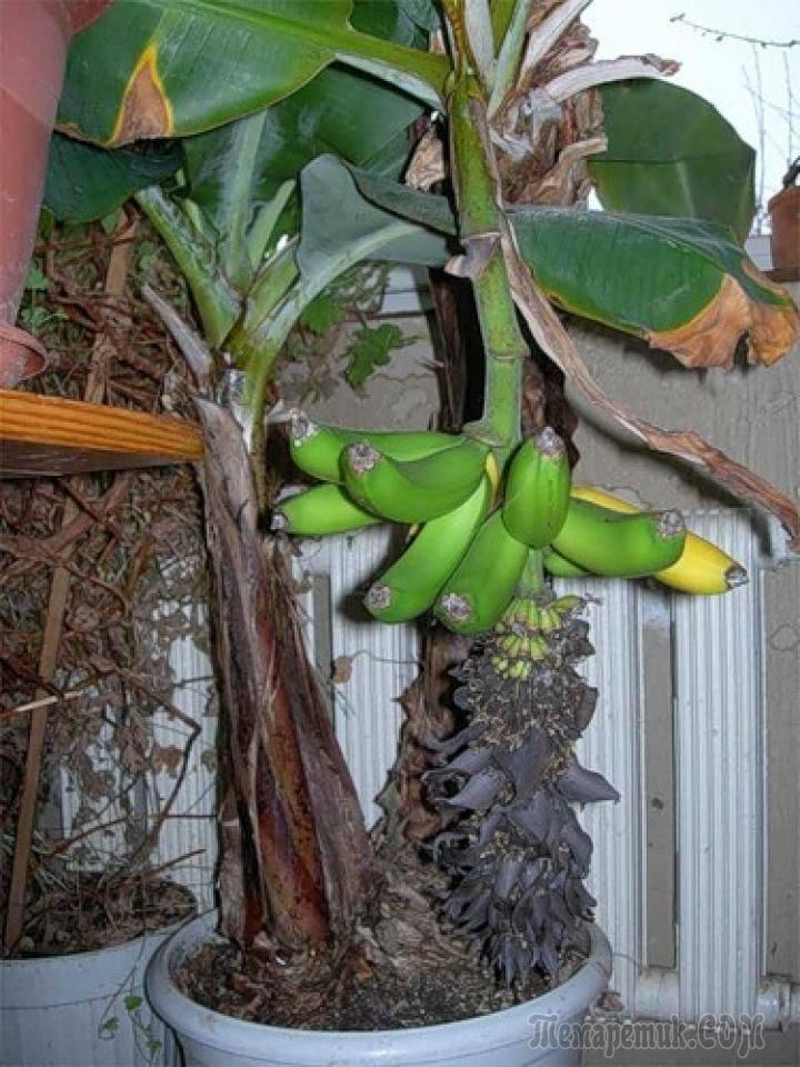 Как вырастить банан в домашних условиях — уход, размножение, способы посадки и выращивания (95 фото)