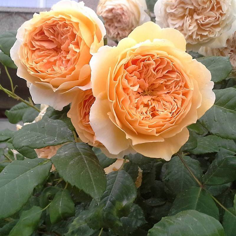 Английские розы (29 фото): описание лучших сортов, особенности роз «абрахам дерби» и «краун принцесс маргарет», «леди оф шалот», «воллертон олд холл» и других