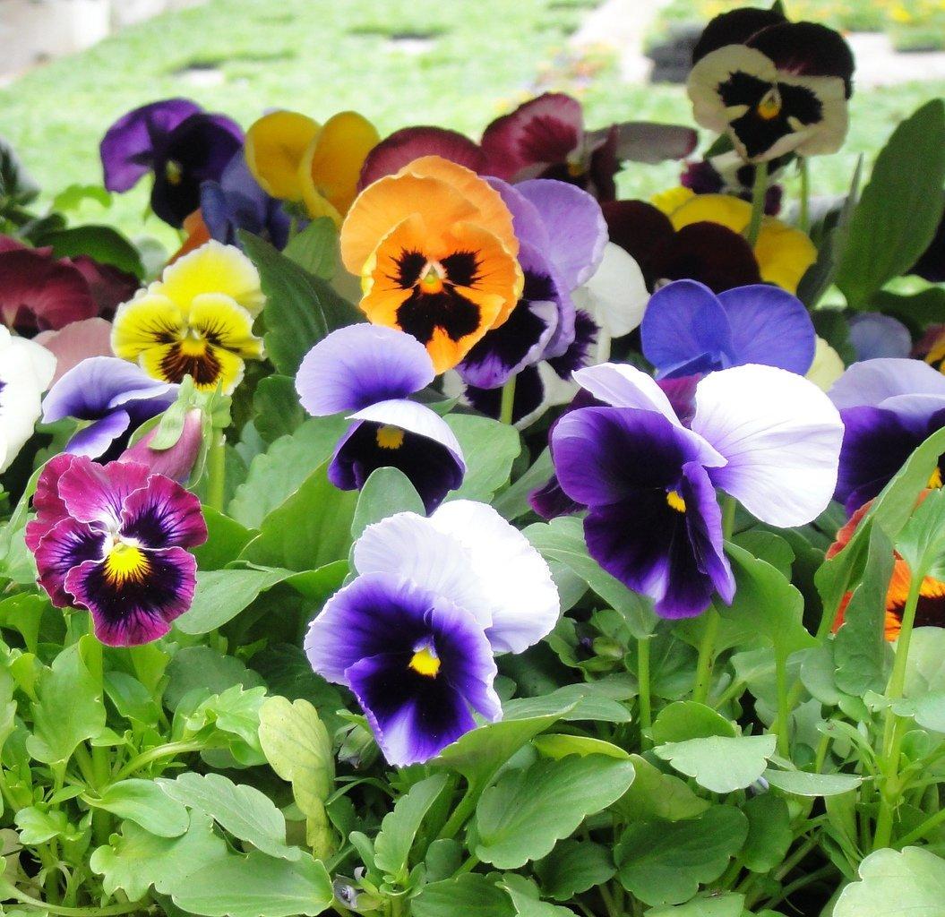 Фиалка садовая многолетняя: посадка и уход, описание, фото