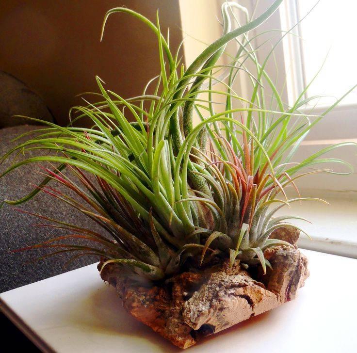 Атмосферная тилландсия: уход в домашних условиях, описание растения, отзывы