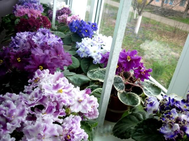 Почему не цветет фиалка? что делать, если у нее растут только листья?