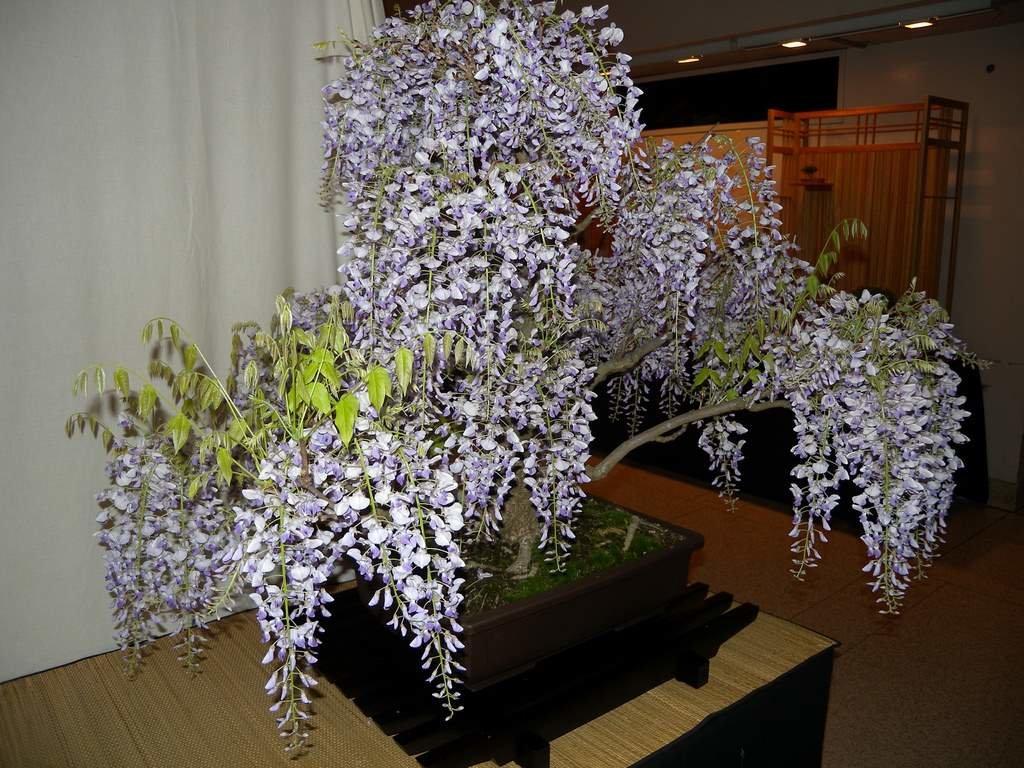 Выращивание и уход за глицинией в открытом грунте, лучшие сорта