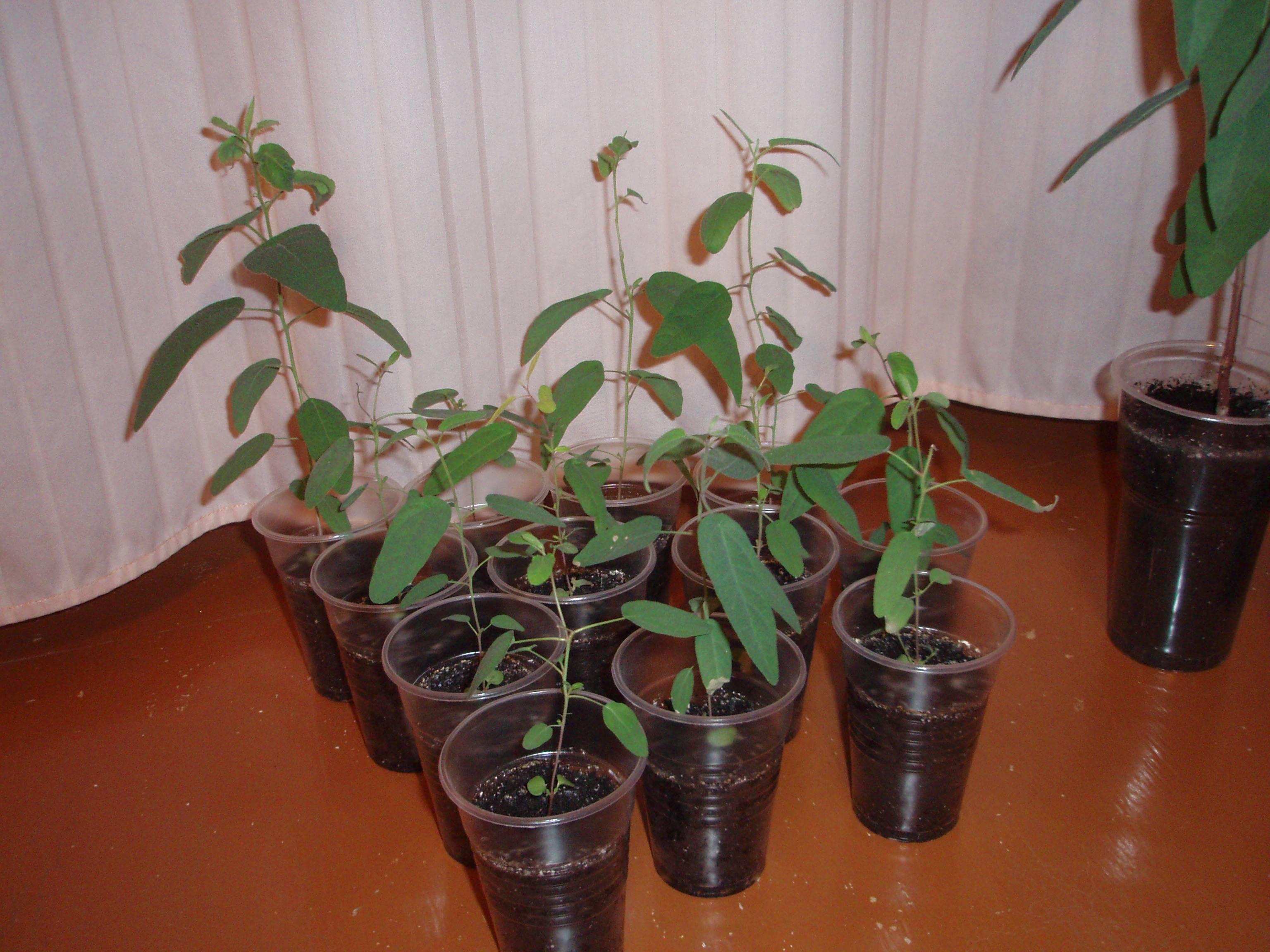 Как вырастить эвкалипт лимонный в домашних условиях
