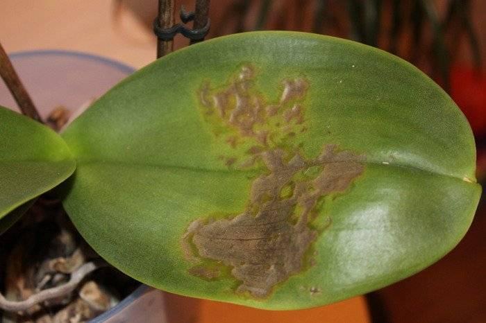 Орхидея фаленопсис: избавляемся от заболеваний и вредителей