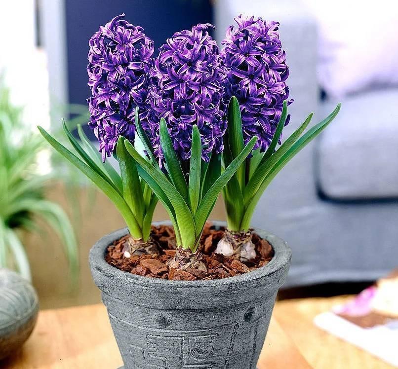 Цветок гиацинт микс: фото, посадка и уход в домашних условиях
