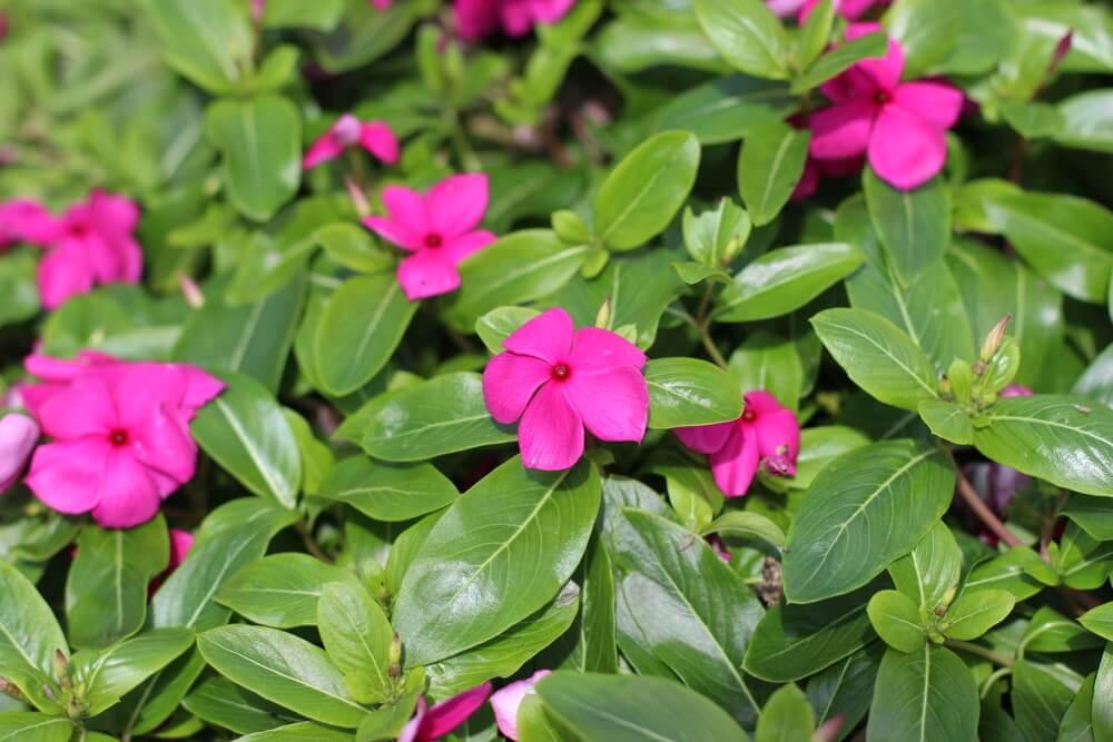 Катарантус розовый и барвинок - это одно и тоже или нет, а также лечебные свойства, фото, уход за травянистым растением в открытом грунте и в комнатных условиях