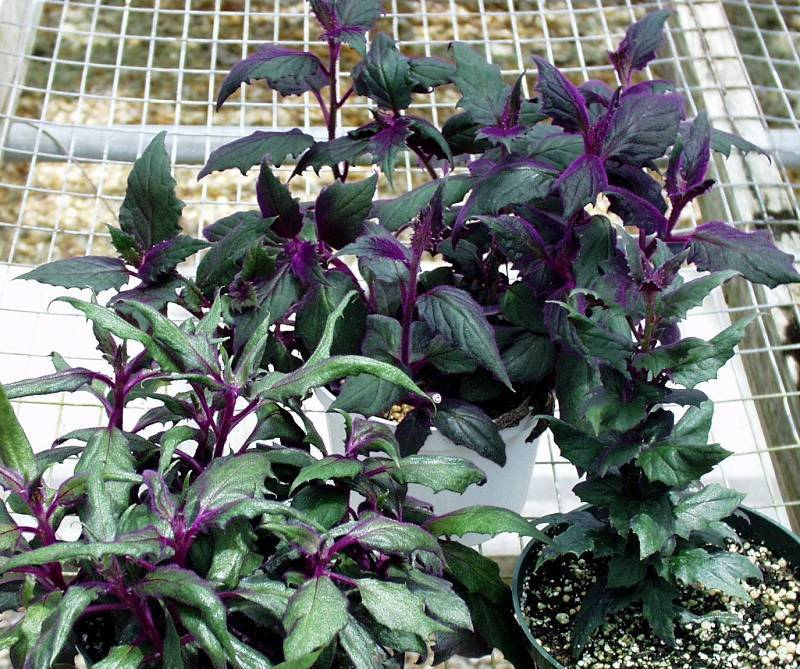 Как называются комнатные цветы с фиолетовым листом, фиолетовыми цветками