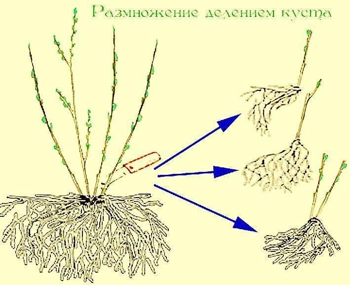 Как размножить гортензию: пять доступных способов. правила заготовки посадочного материала, процесс пошагово