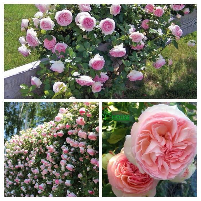 Сорт розы ферст леди «первая леди»: как посадить и ухаживать за срезочным шрабом