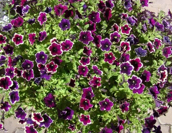 Цветы петуния — характеристики лучших сортов Тайдал и Джоконда