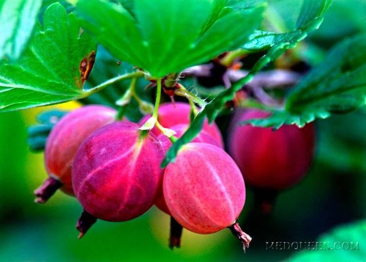 Почему не плодоносит крыжовник: что делать и как заставить плодоносить