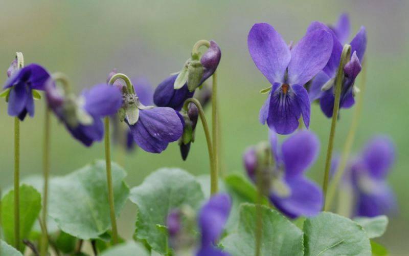 Как растет фиалка лесная — фото и названия