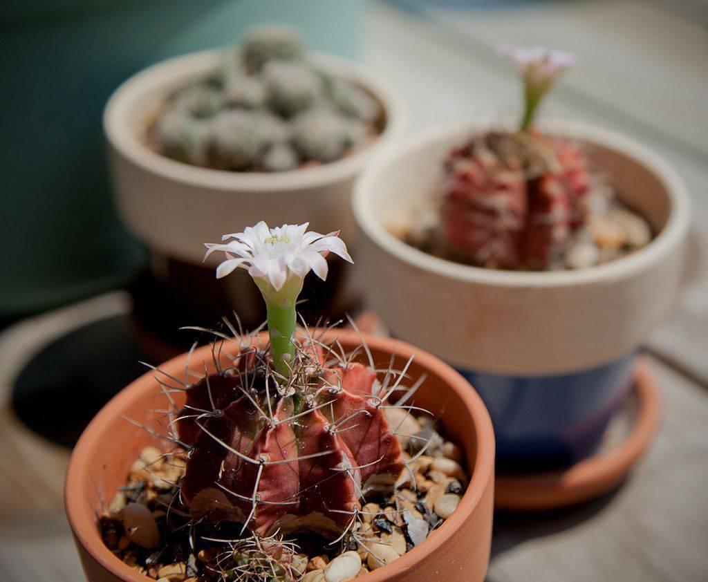 Растение кактус: уход в домашних условиях, виды, разновидности, полив и пересадка