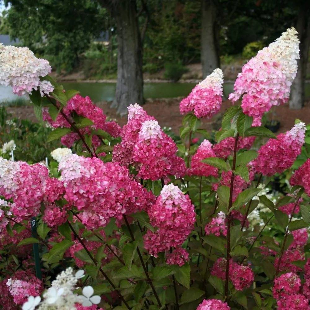 Гортензия Фрайз Мельба (Hydrangea Paniculata Fraise Melba) — описание