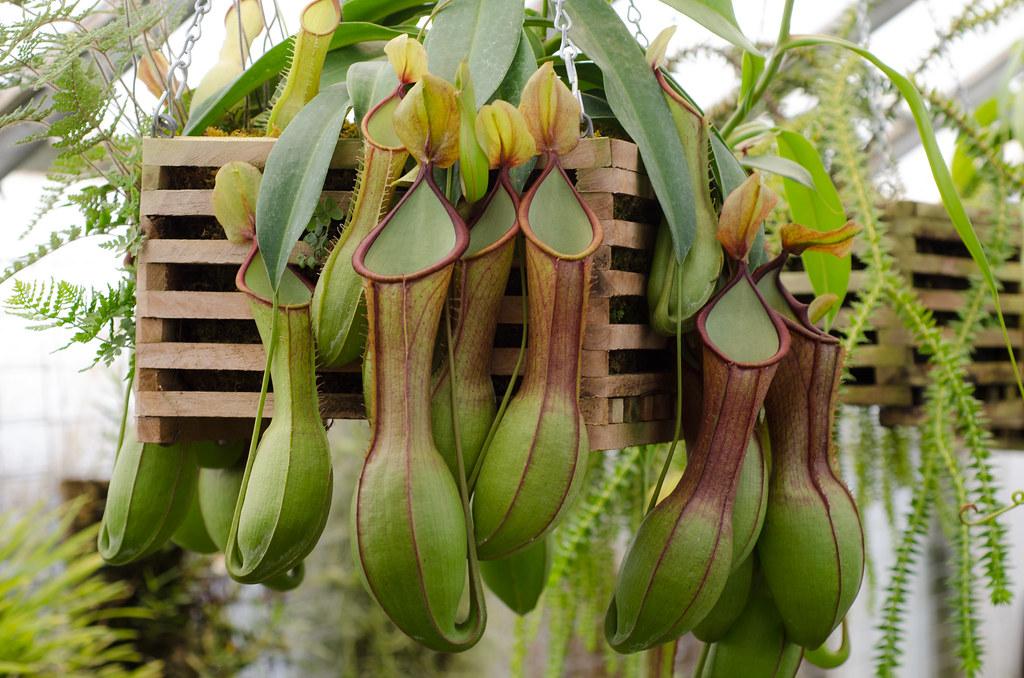 Хищник непентес — что это такое? как ухаживать за растением в домашних условиях?