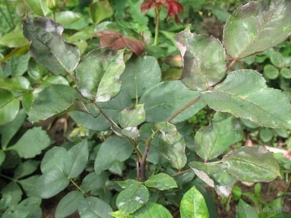 Почему скручиваются листья у цветов и декоративных кустарников?