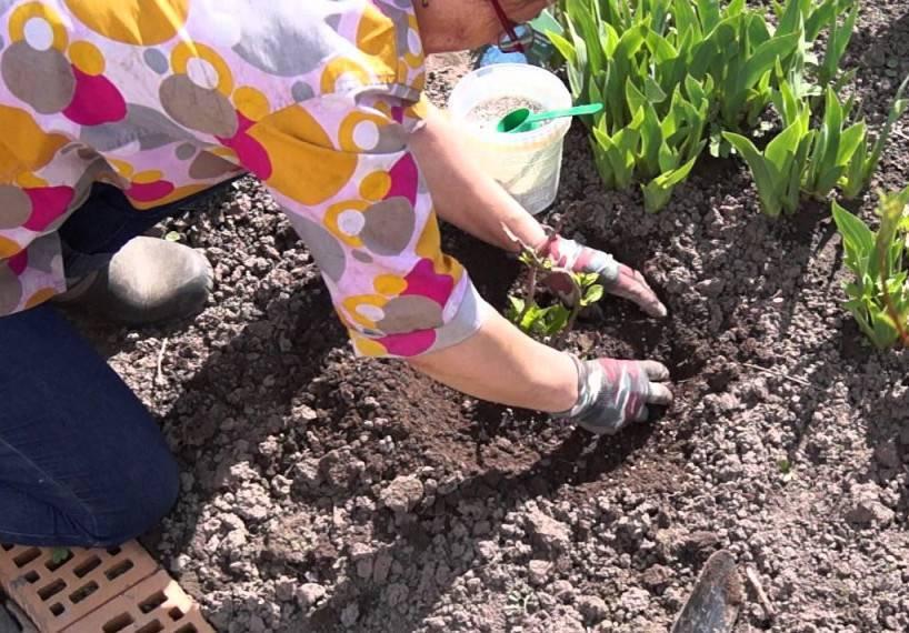 Чем подкормить гортензию метельчатую и как правильно это сделать?