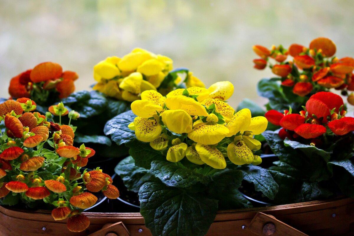 Кальцеолярия: как ухаживать и размножать растение