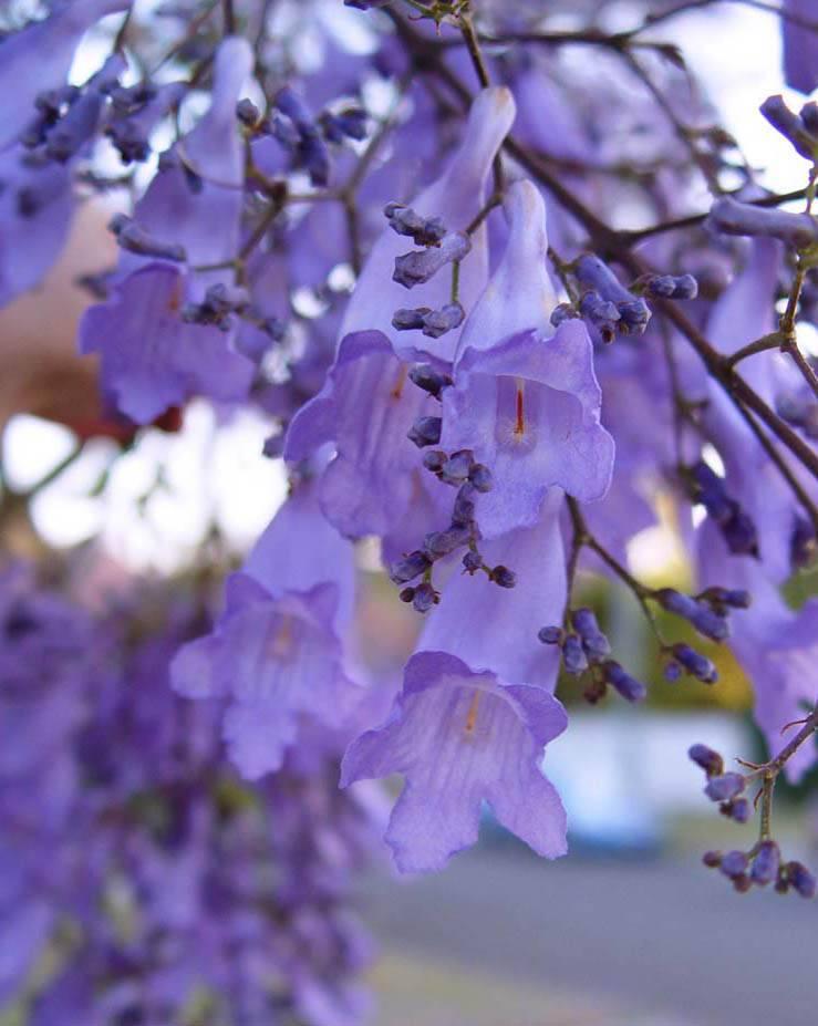 Описание жакаранды мимозолистной: выращивание фиалкового дерева в домашних условиях