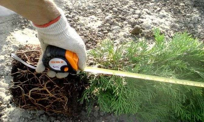 Туя — посадка и уход в открытом грунте весной