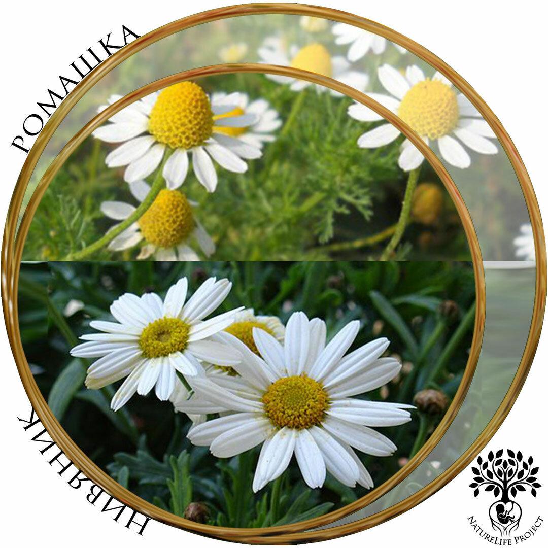 Цветы, похожие на ромашки, у вас в саду – фото, названия