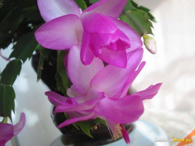 Секреты цветения шлюмбергеры. почему не цветёт «декабрист»?