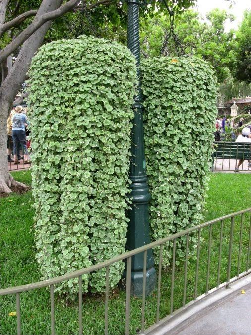 Посадка и уход за кислицей садовой в открытом грунте: уличный цветок на даче