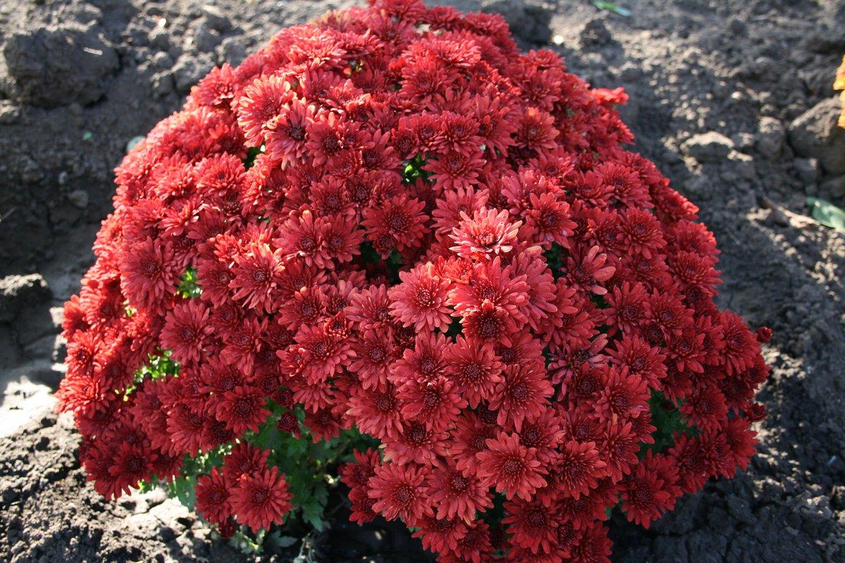 шаровые хризантемы фото блинов