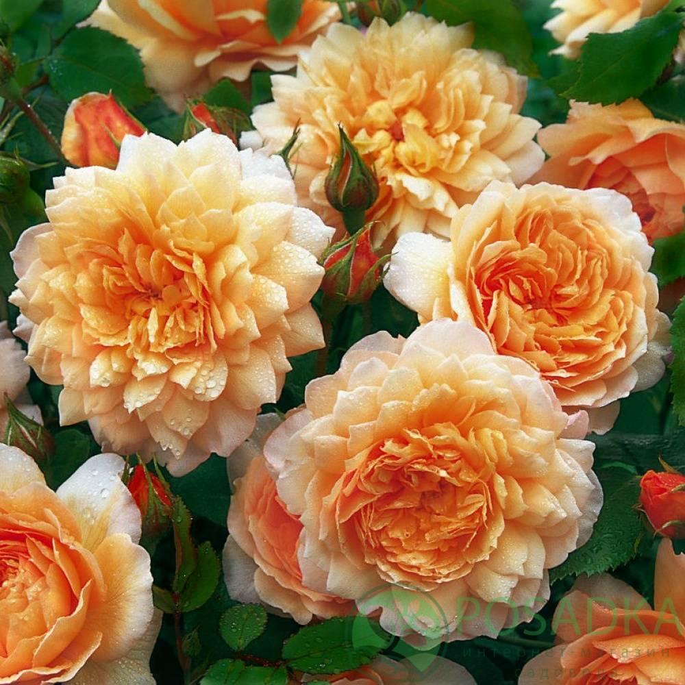 Розы кустовые: английские, французские, чайные и другие виды; описание сортов и фотографии с названием