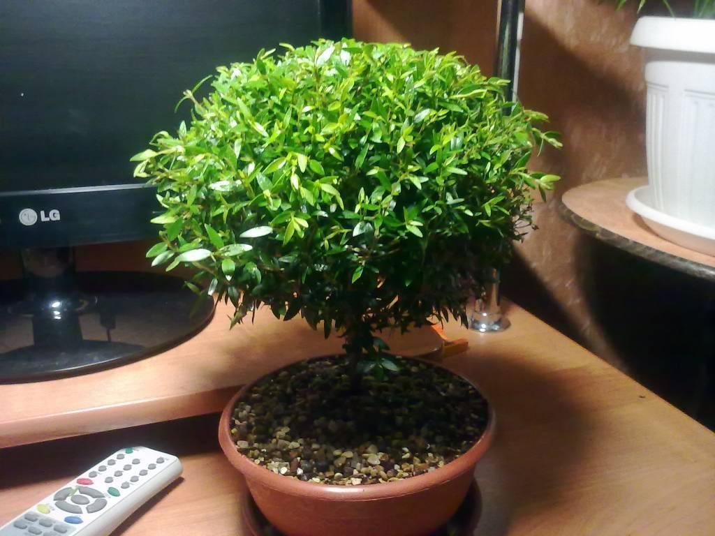 Мирт - уход и выращивание в домашних условиях