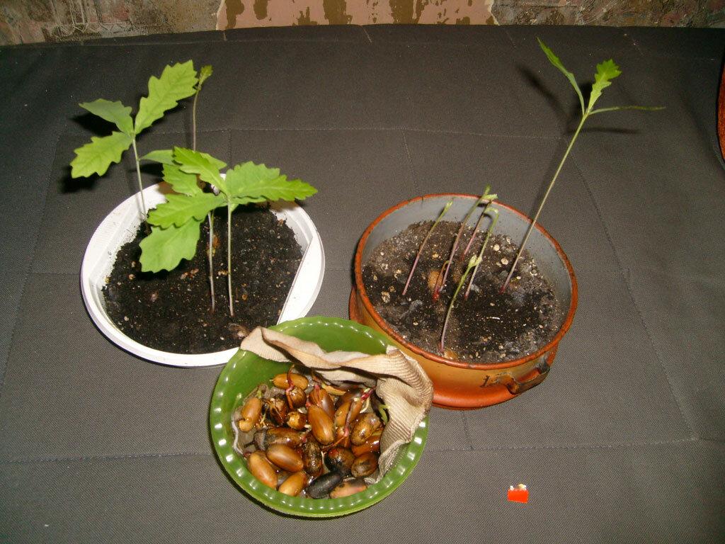 Выращивание из желудей дубов: как посадить желудь в домашних условиях