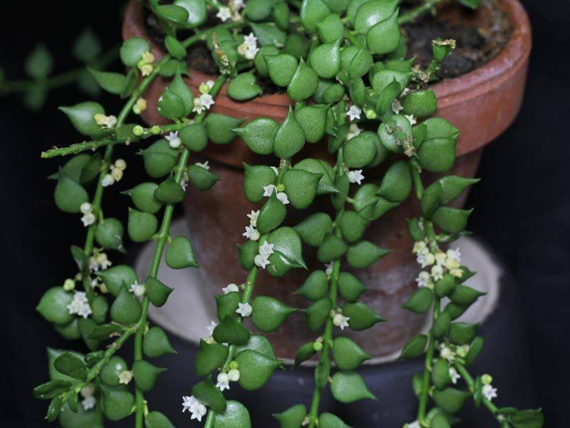 Дисхидия (29 фото): уход за цветком в домашних условиях, разновидности русифолия и овата, гребешковая и нуммулария, раффлеза и хирсута