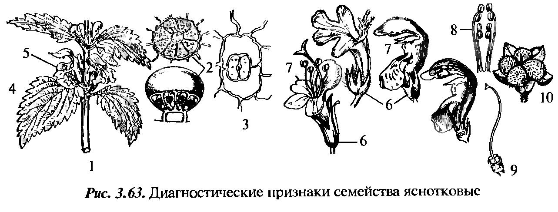 Яснотка белая (глухая крапива) — описание цветка