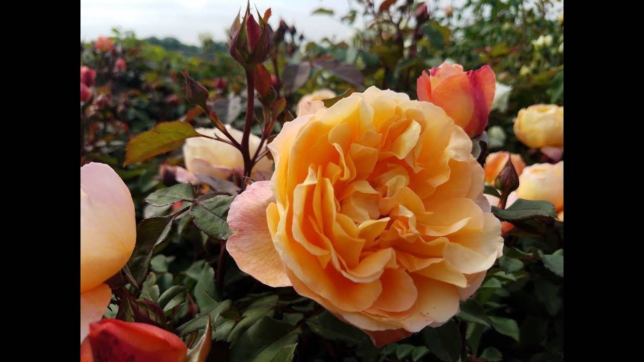 Роза августа луиза (augusta luise) — характеристики сорта